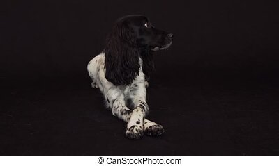 Beautiful female spaniel folds his paw on the paw on a black...