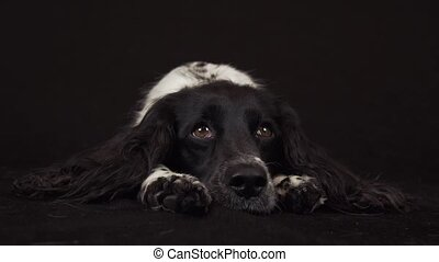 Beautiful female spaniel lies and is funny looks around on...