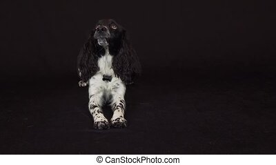 Beautiful female spaniel on a black background stock footage...
