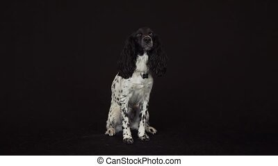 Beautiful female spaniel sits on its hind legs and gives a...