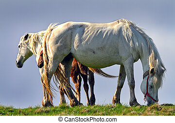 beautiful feral horses - feral horses in mountain area; in...