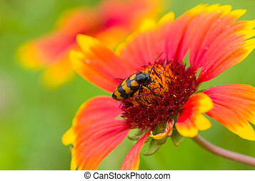 Indian blanket flower and stylish insect sitting on and gathering nectar