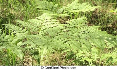 Beautiful Ferns Leaves Green Foliage In Summer Coniferous...