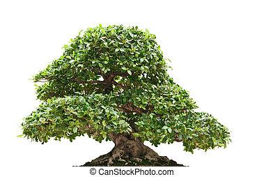 beautiful Ficus bonsai isolated on white background