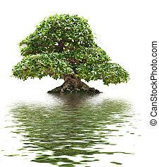 beautiful Ficus bonsai reflected on water