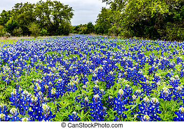 Beautiful Field Blanketed with the Famous Texas Bluebonnet (Lupinus texensis) Wildflowers.