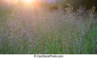 Beautiful field grass at sunset and midges - Beautiful field...