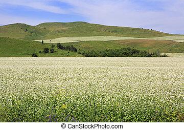 Beautiful field of buckwheat in the Altai.