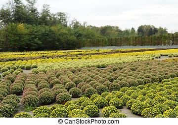 Beautiful Field of Chrysanthemum Flower Plants