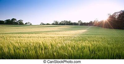 Beautiful field of fresh growth agrucultiral wheat - Field...