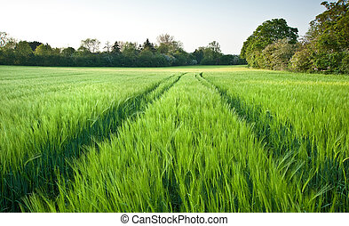 Beautiful field of fresh growth agrucultiral wheat - Field...