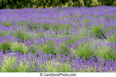 Beautiful field of lavender.