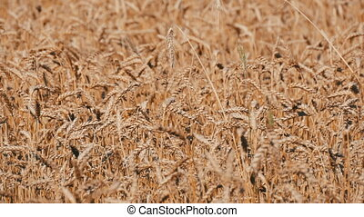 Beautiful field of ripe wheat, spikelets of wheat sway in the wind