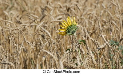 Beautiful field of ripe wheat, spikelets of wheat sway in the wind and small sunflower