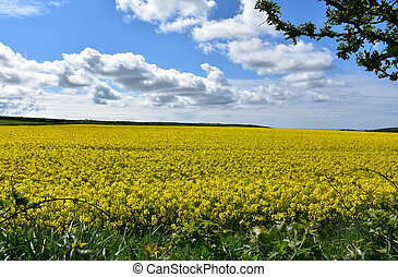 Beautiful Field of Yellow Rape Seed Flowers Blooming in England