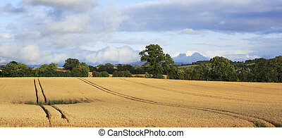 Beautiful field with harvest of wheat in irish countryside