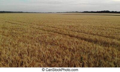Beautiful field with ripe rye in Russia, forward movement -...