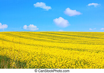 Beautiful fields of rape and blue sky with fluffy white clouds in Springtime