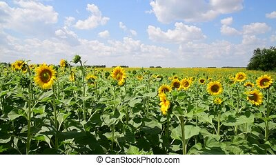 Beautiful Fields with blooming sunflowers - Sunflower...