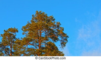 Beautiful fir tree with cones on blue sky background