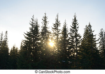 Beautiful Fir Trees with Bright Sun in Morning Fog.