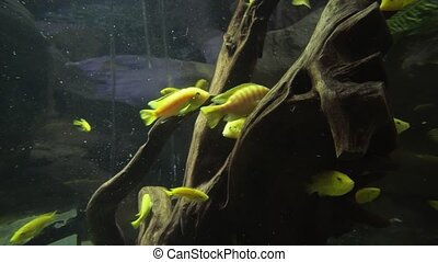 Beautiful fish float in freshwater aquarium stock footage...