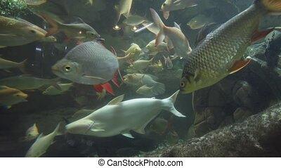 Beautiful fish float in freshwater aquarium stock footage...