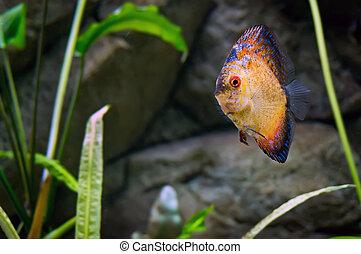 Beautiful fish in the aquarium - Beautiful goldfish swims...