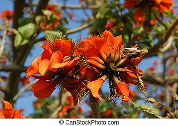 beautiful Flamboyant tree (Royal Poinciana or Delonix regia...