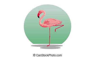 beautiful flemish exotic bird , hd video animation