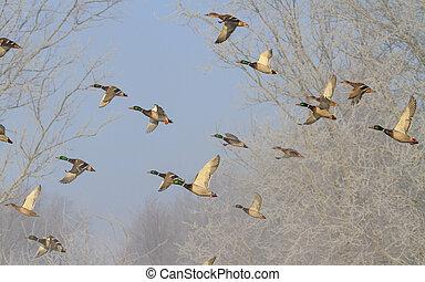 beautiful flight of ducks in winter