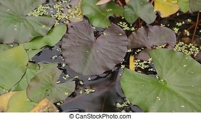 Beautiful flower and leaves in swamp. The swamp Lotus....