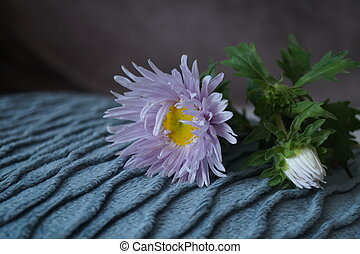 Beautiful flower - Asters, Callistephus chinensis