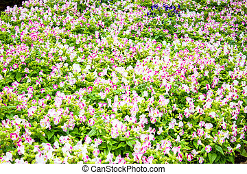 Beautiful flower at Mae Fah Luang Garden,locate on Doi...