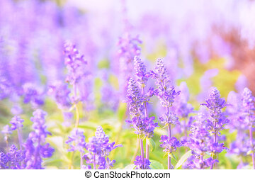 Beautiful flower background with Salvia farinacea...