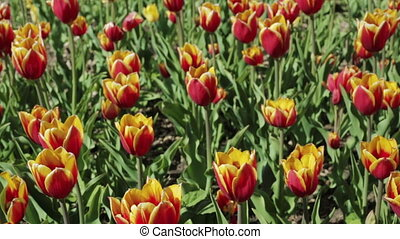 Beautiful flower bed with red yellow tulips.