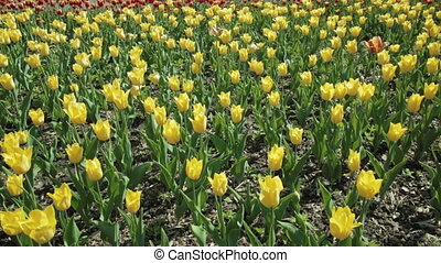 Beautiful flower bed with yellow tulips.