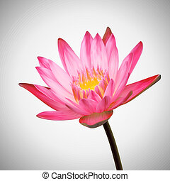 Beautiful Flower Bloom. Water Lily Background