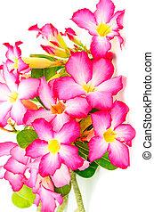 Impala Lily - Beautiful flower, blossom of Desert Rose-...