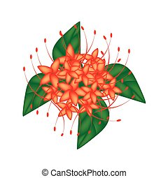 Red Bush Willow Flower or Combretum Erythrophyllum Flower - ...