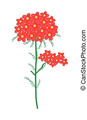 Red Yarrow Flowers or Achillea Millefolium Flowers - ...