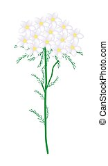 White Yarrow Flowers or Achillea Millefolium Flowers - ...