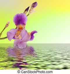 Beautiful flower iris reflection in the water