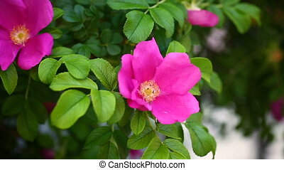 beautiful flower of a dogrose