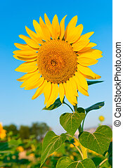 beautiful flower of a sunflower on a background of blue sky