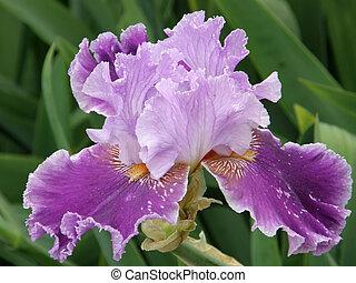 Beautiful flower of an iris