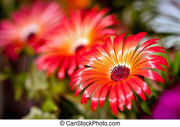 Beautiful flower of gerbera