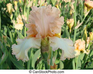 Beautiful flower of Iris germanica. Summer garden.