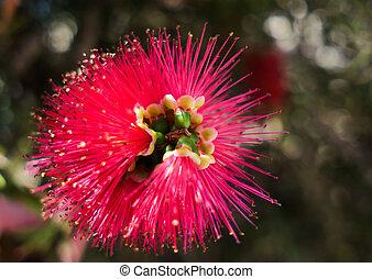 Beautiful flower of Japanese red maple Callistemon, close-up...