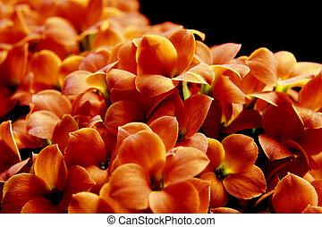Beautiful flower of kalanchoe. macro